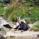 Loch Lomond Wild Goat