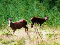 Deer Argyll Forest Park