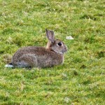 Rabbit by Loch Goil