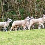 Loch Goil Lambs